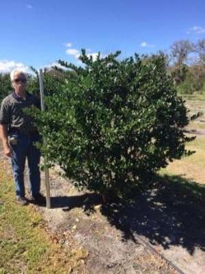 Glossy Privet Ligustrum