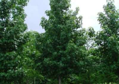 Sweetgum Trees