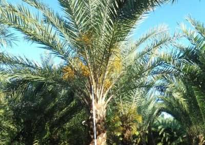 The Sylvester Palm