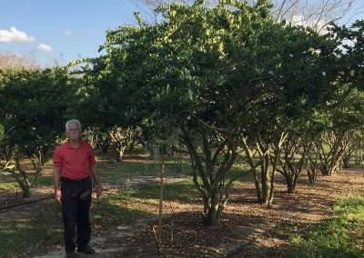 We offer the Glossy Privet/Ligustrum, as well as a variety of other trees, in The Tree Planters online store. If you do not see the tree that you would like to purchase please contact us and we can help. We also remove and transplant large trees.