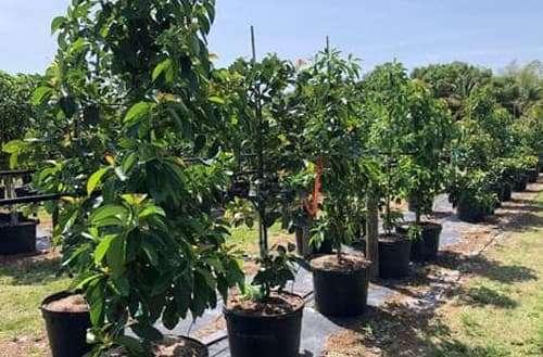 Fruit Trees- Avocado Tree