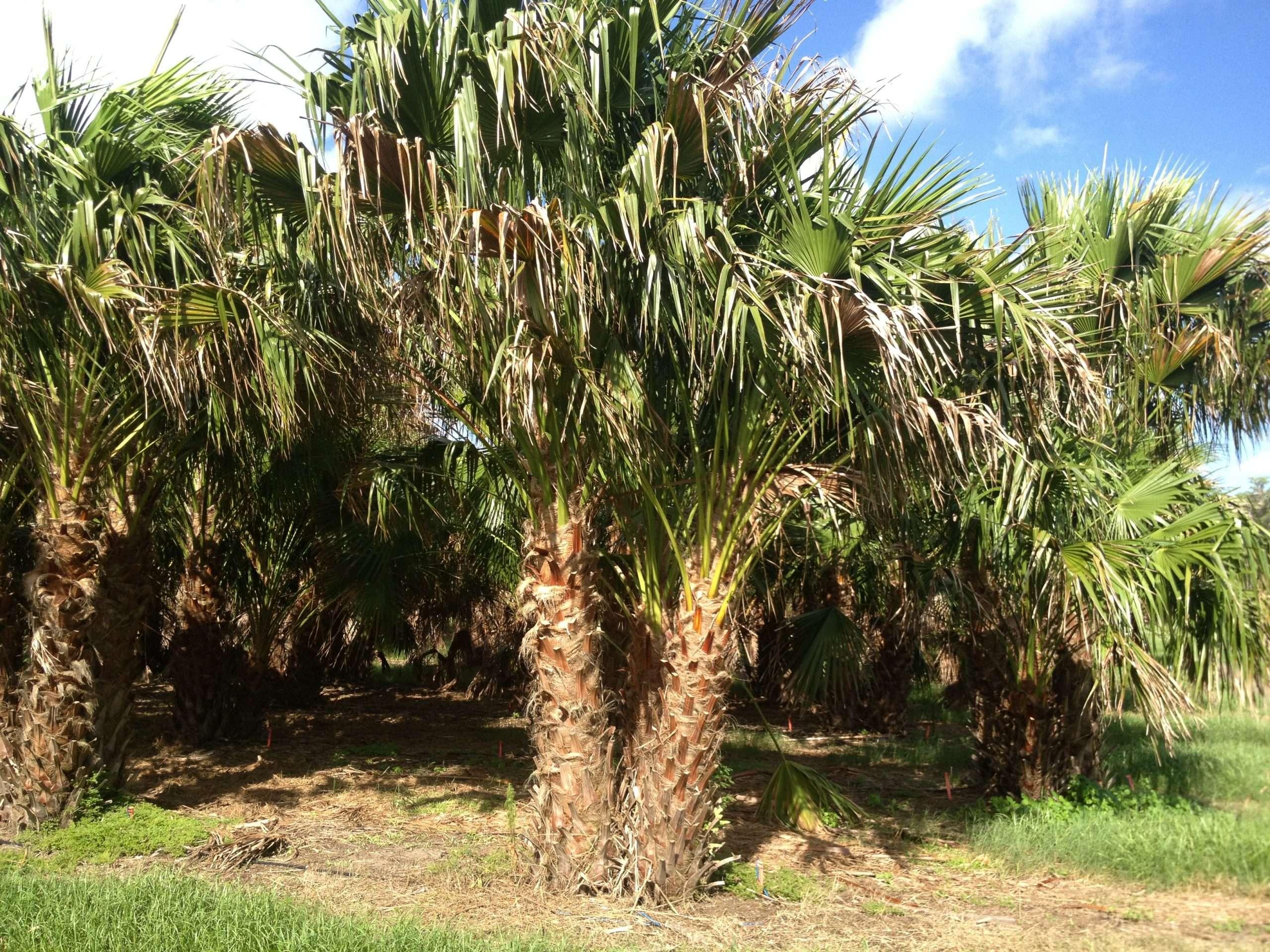 Double Ribbon Palm
