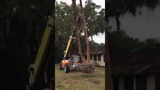 Double Chinese Fan Palm Transplant