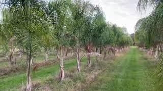 Queen Palm Field 15′ OA