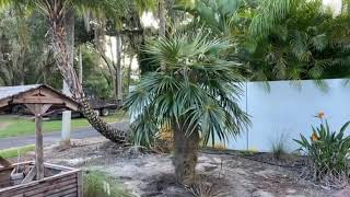Old Man Palm