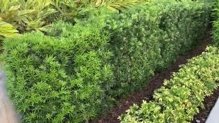 Podocarpus Hedge Screen/Privacy